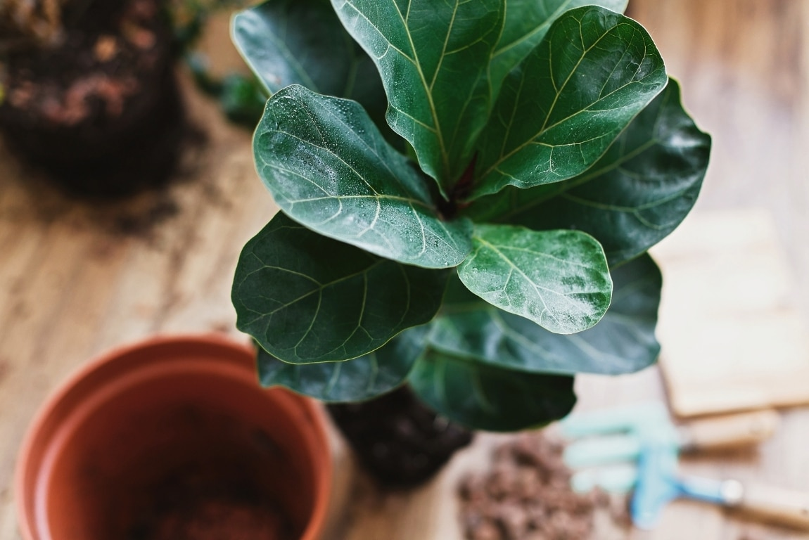 fiddle leaf fig alternatives - featured